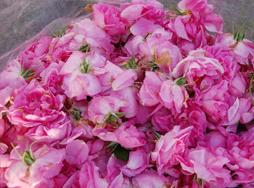 大马士革玫瑰苗