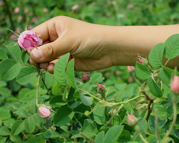 大马士革玫瑰鲜花采摘
