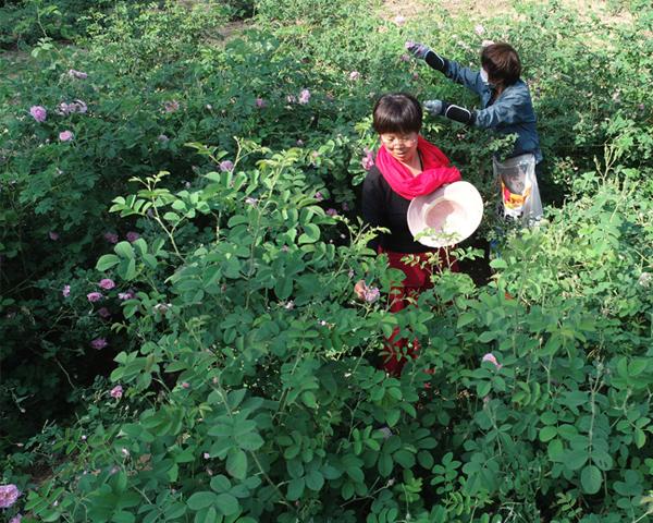 大马士革玫瑰种苗