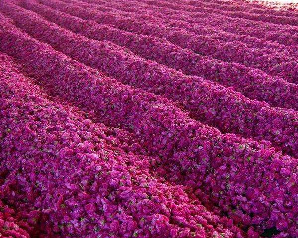 什么样的土壤适合大马士革玫瑰花生长?