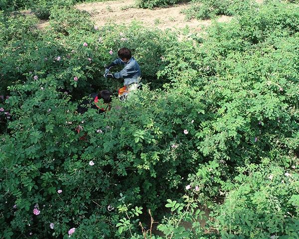 山东大马士革玫瑰种植基地