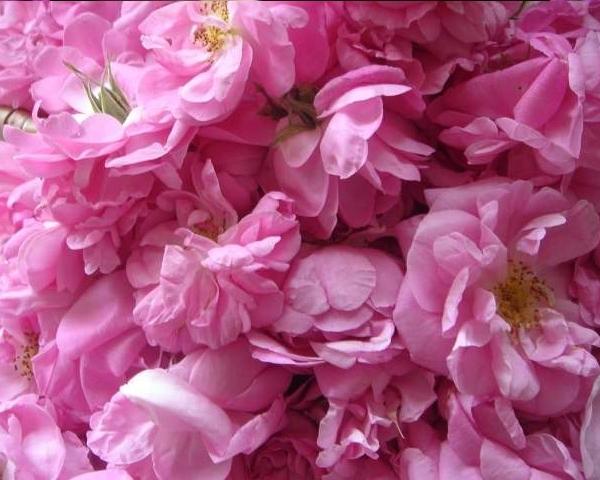 大马士革玫瑰花