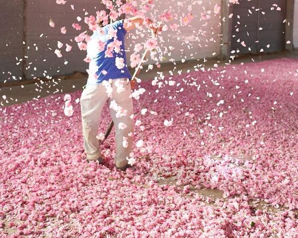 甘肃大马士革玫瑰鲜花