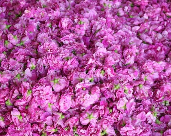 山西大马士革玫瑰鲜花