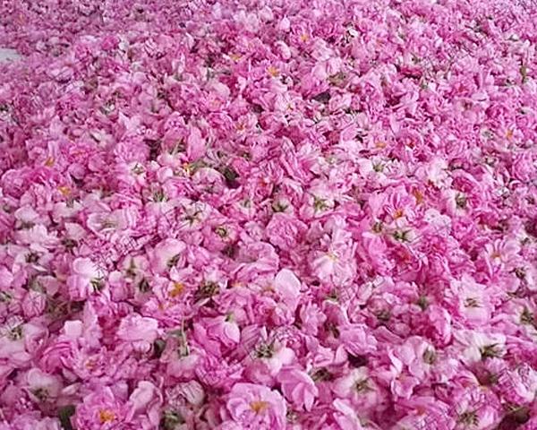 河南大马士革玫瑰鲜花