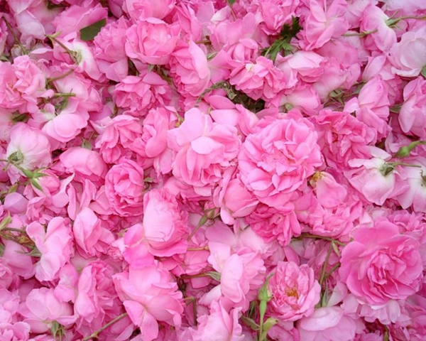 天津大马士革玫瑰鲜花