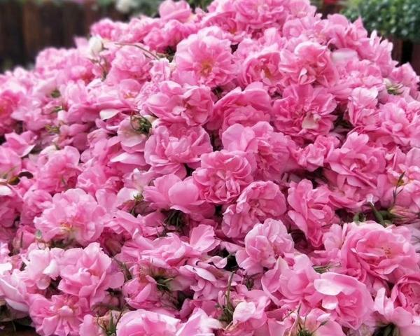 北京大马士革玫瑰腌制鲜花
