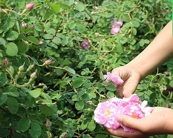 甘肃大马士革玫瑰苗